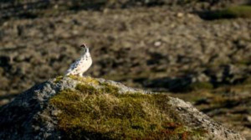 Arctic Ptarmigan, Iceland, East Iceland, bird, birds, Breiðdalur, Breiðdalsvík,