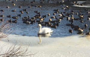 trumpet swan-swans of the concord river-swans in billerica-white swans-swans and ducks