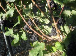 Vineyard Harvest 2013