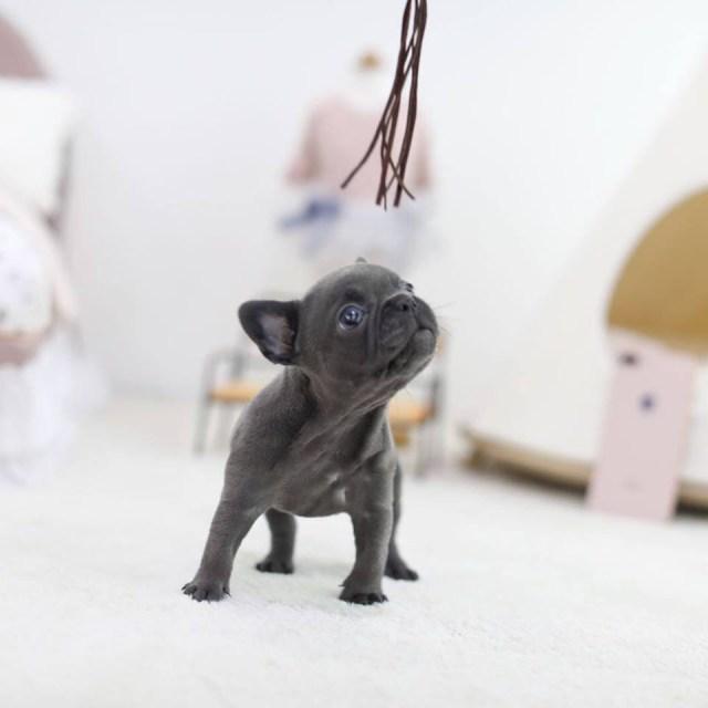 rebel blue mini french bulldog - tiny teacup pups