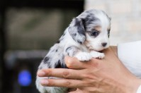 Bo Peep Teacup Dachshund - Tiny Teacup Pups