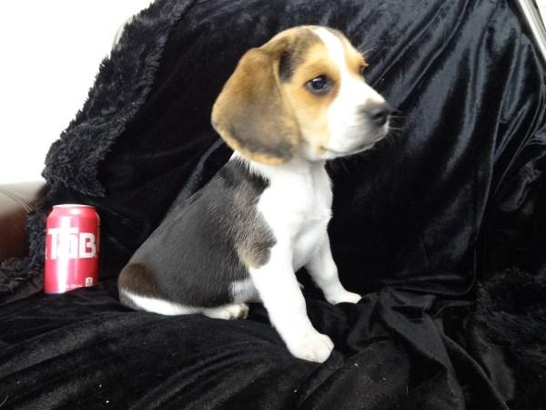 8 Week Old Pocket Beagle Puppies