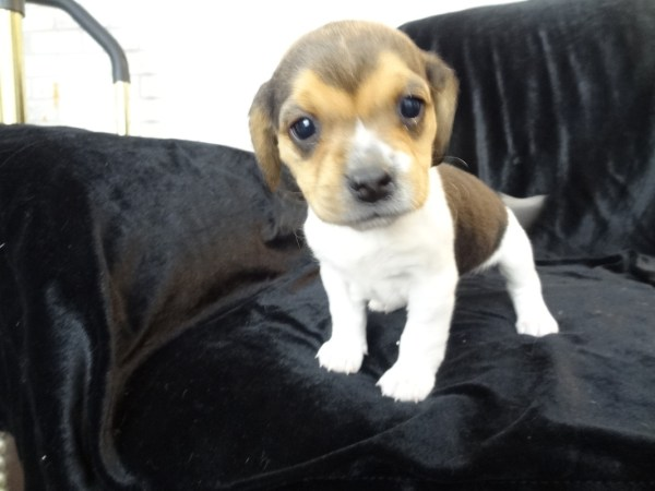 Litter Pocket Beagle Puppies - Tiny Beagles Miniature