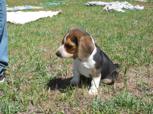 Pocket Beagle Puppies Akc - Tiny Beagles Miniature