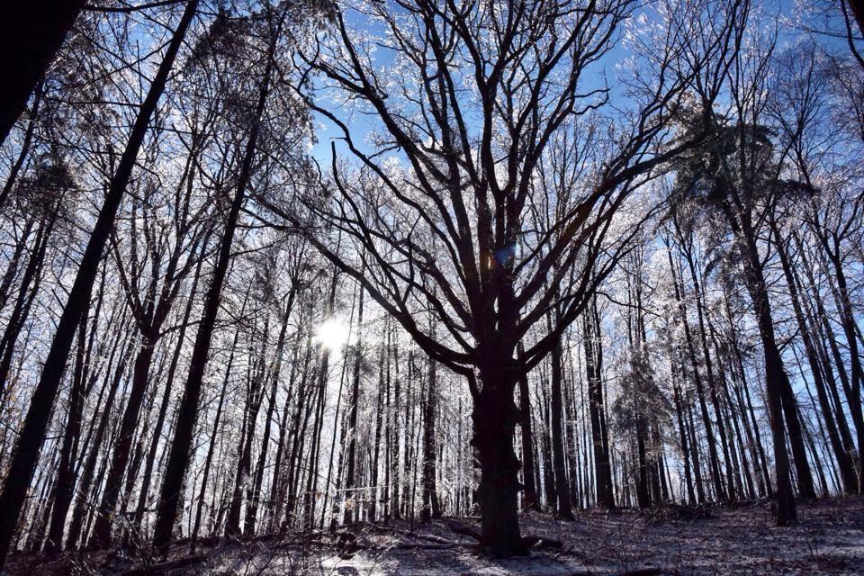 White Oak in Ice