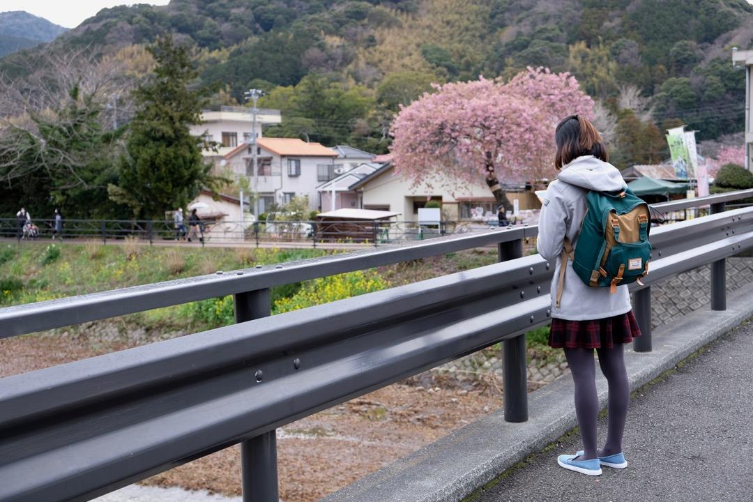 kawazu japan cherry blossom