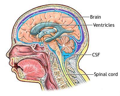 Beyin Omurilik Sıvısı (BOS)