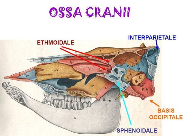 OSSA CRANII INTERPARIETALE ETHMOIDALE BASIS OCCIPITALE SPHENOIDALE