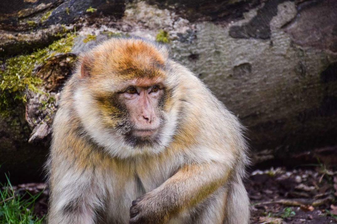 Barbary Macaques up close