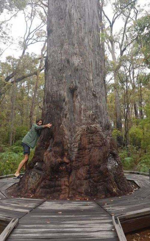Abbraccio al King Jarrah, l'albero di eucalipto di 500 anni