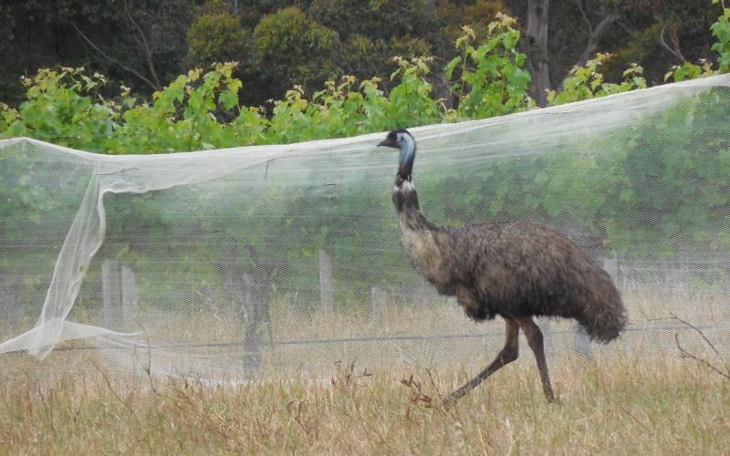 Emù a spasso per le vigne di Margaret River