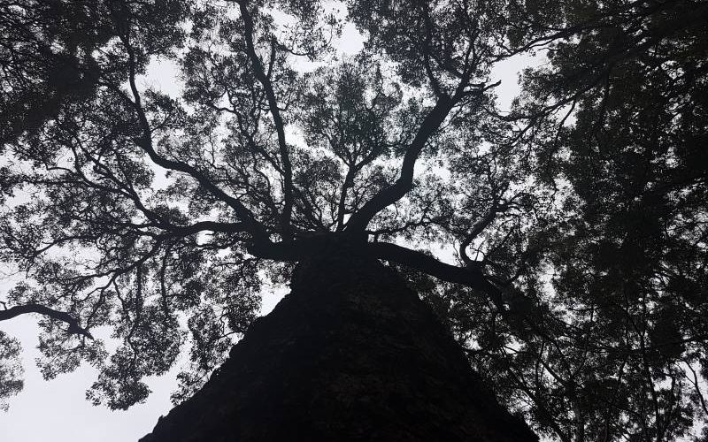 Foresta di eucalipti intorno a Margaret River