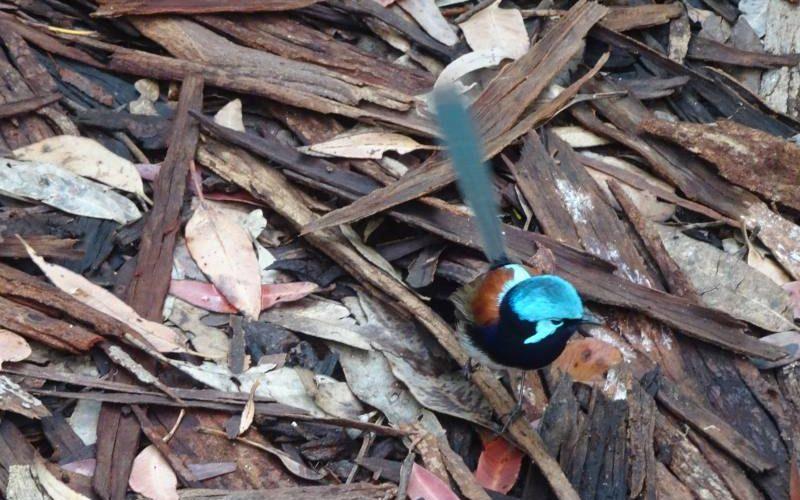 Uccello australiano Super Fairywren nella foresta del Gloucester Tree