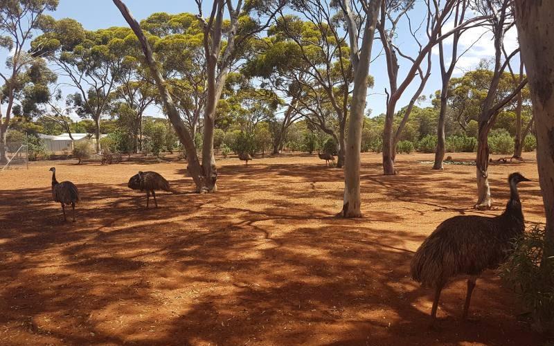 Emù dentro il parco pubblico Hammond Park di Kalgoorlie