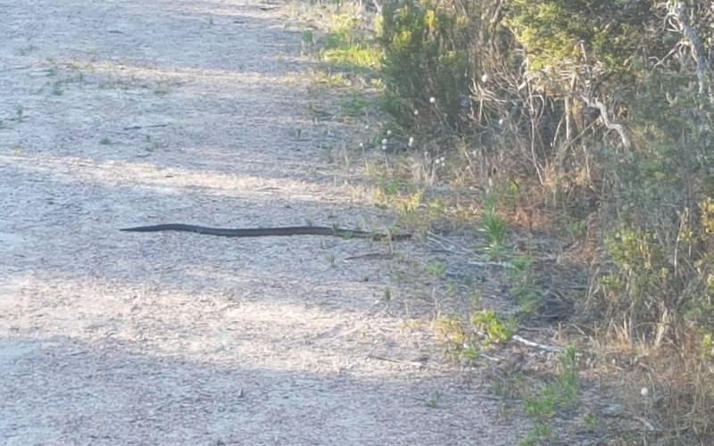 Avvistamento serpente durante percorso da trekking Kepwary a Esperance
