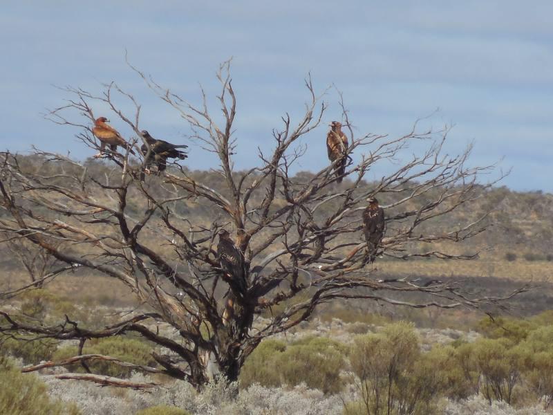 Aquile a riposo su un albero lungo la Stuart Highway in South Australia