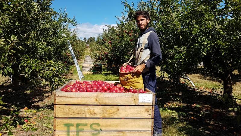 """""""Picking"""" raccolta mele con Bin in Tasmania per gli 88 giorni di Farm australiani"""