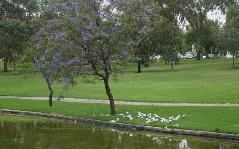 "Anello verde ""Adelaide Parklands"""