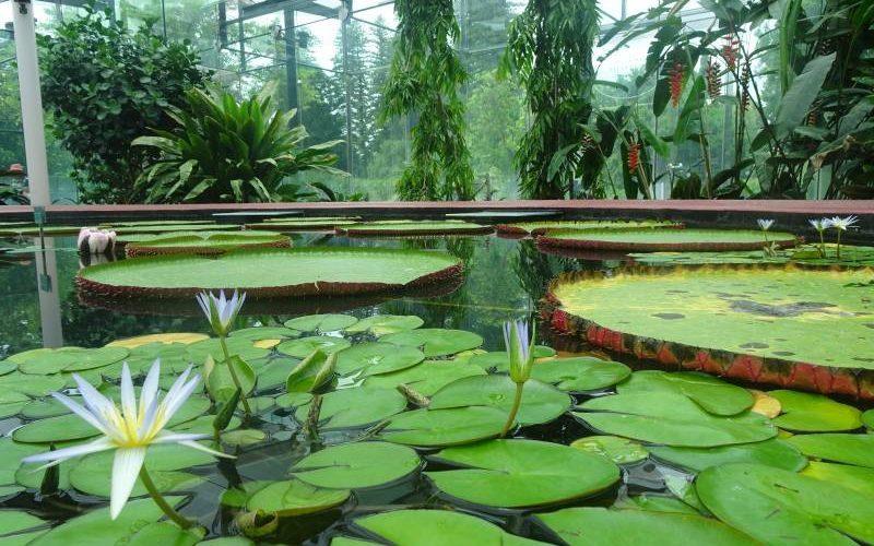 Ninfee giganti dentro il padiglione Amazon Waterlily del Giardino Botanico di Adelaide