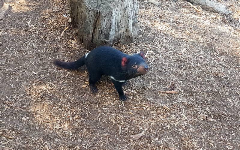 Avvistamento Diavolo della Tasmania in libertà su Maria Island