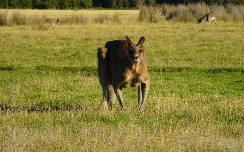 Canguro muscoloso nel Parco Nazionale Narawntapu in Tasmania