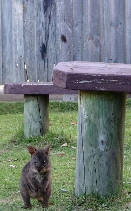 Incontro ravvicinato con un cucciolo di pademelon, marsupiale d'Australia