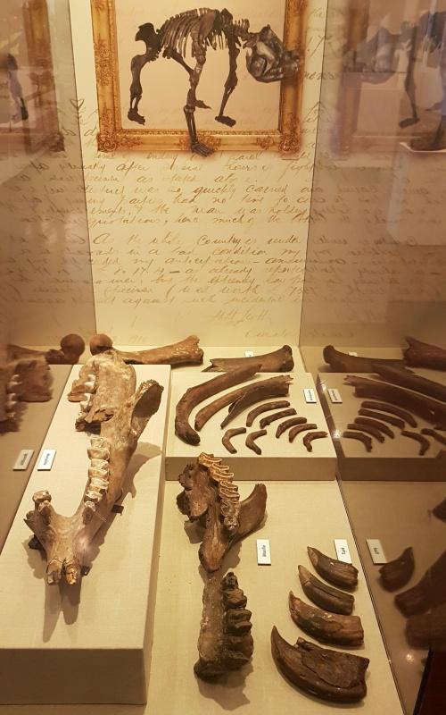 Fossili di diprotodonte ritrovati nel museo Queen Victoria Museum di Launceston nel Nord della Tasmania