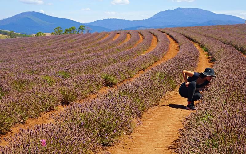"""Distese di campi di lavanda alla """"Bridestowe Lavender Estate"""" nel Nord della Tasmania"""