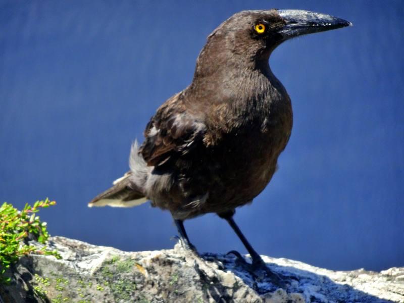 Il Currawong, il grande corvo australiano