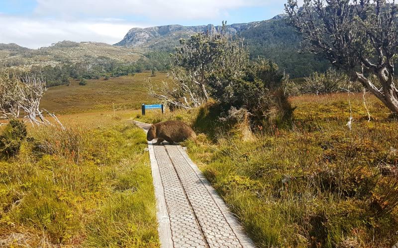Incontro con uno wombat (vombato) nei percorsi di Cradle Mountain in Tasmania