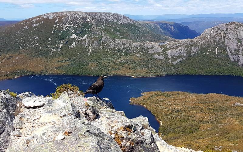 Vista del Dove Lake con la compagnia di un Currawong, dal Marions Lookout durante i percorsi di Cradle Mountain in Tasmania