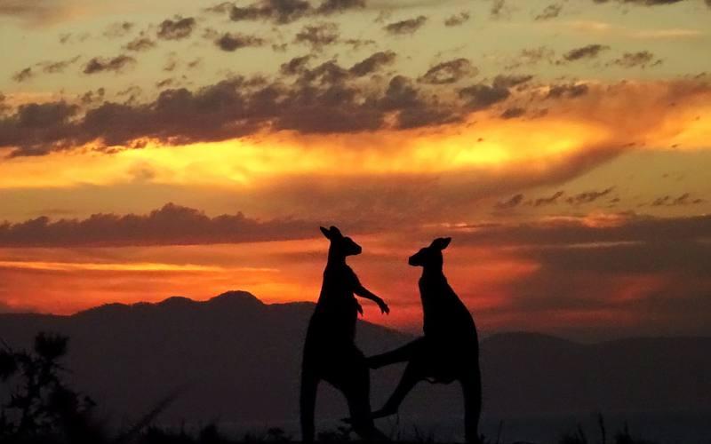 Lotta di canguri al tramonto sull'isola di Maria Island in Tasmania (Australia)