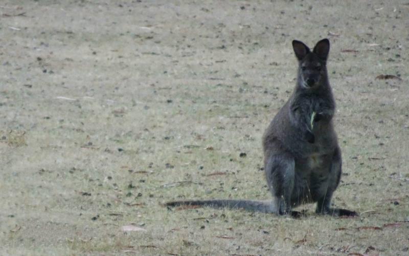 """Avvistamento wallaby durante il percorso """"Fluted Cape"""" nell'isola di Bruny Island"""