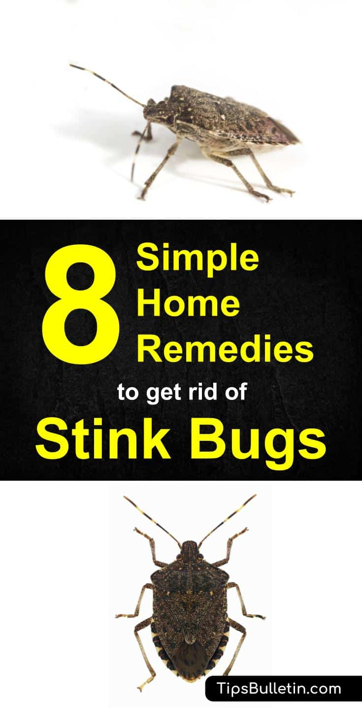 How to Get Rid of Stink Bugs - 8 Simple Home Remedies