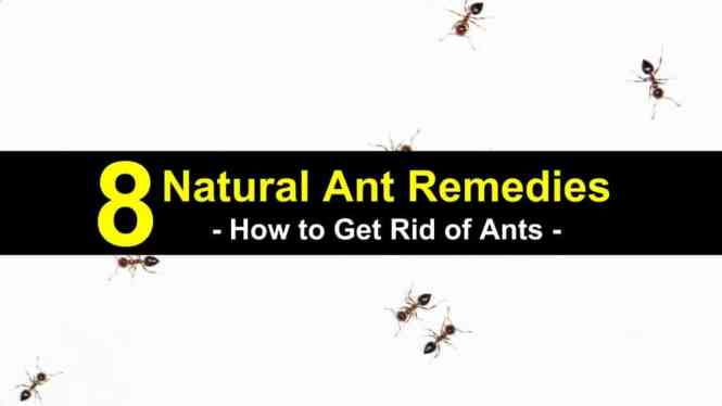 How To Get Rid Of Ants In House 5 Home Remedies