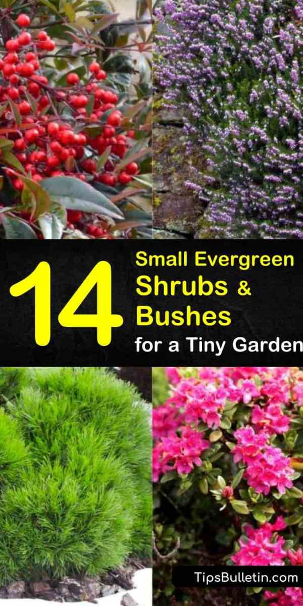 small evergreen shrubs - bushes