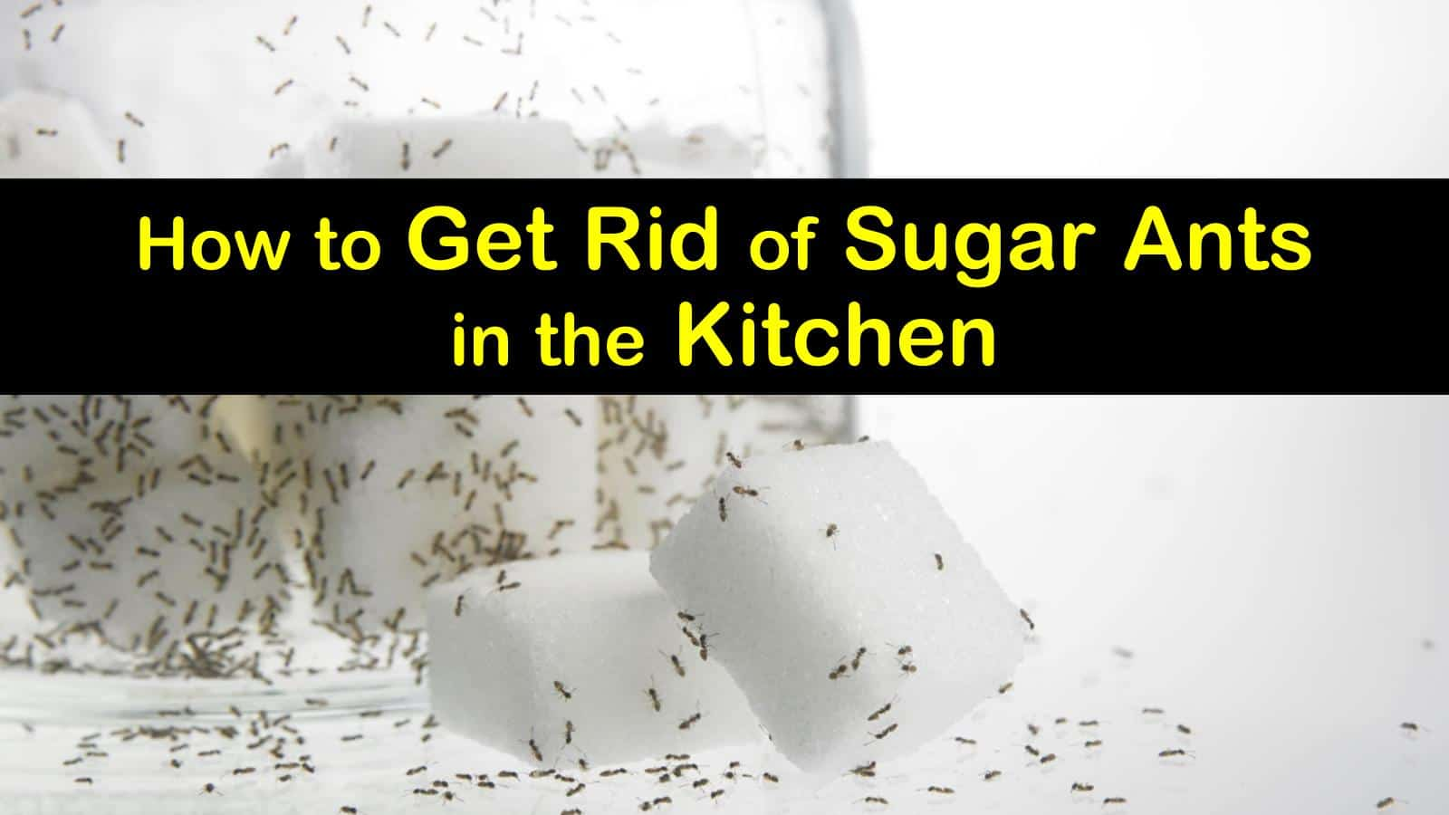 get rid of sugar ants in the kitchen