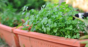 How to Grow Cilantro Plants