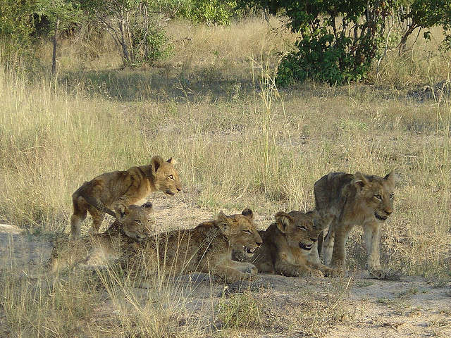 Lion Cubs in Sabi Sands Private Game Reserve South Africa