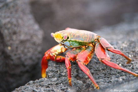 Colourful Red Rock Crab