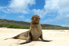 Young Sea Lion pup