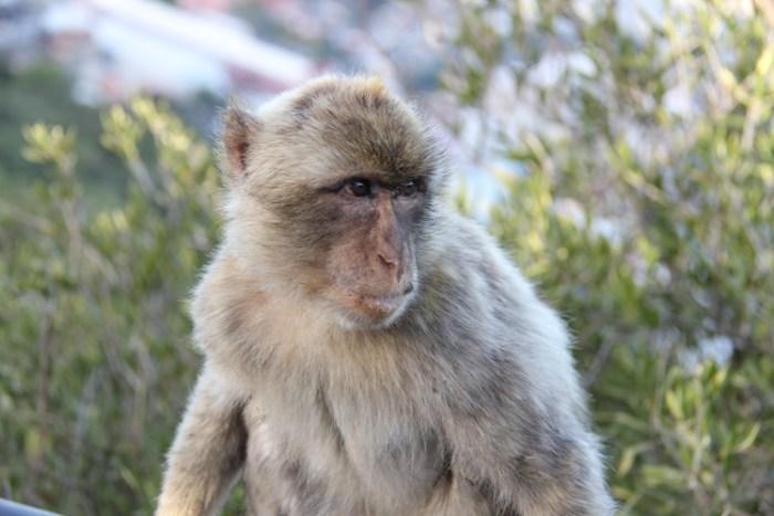 Barbary Ape Gibraltar