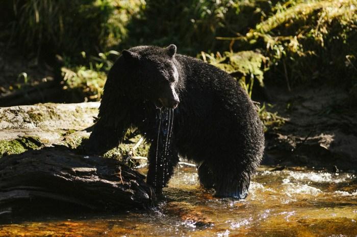 Bear Watching Great Bear Rainforest British Columbia Canada.