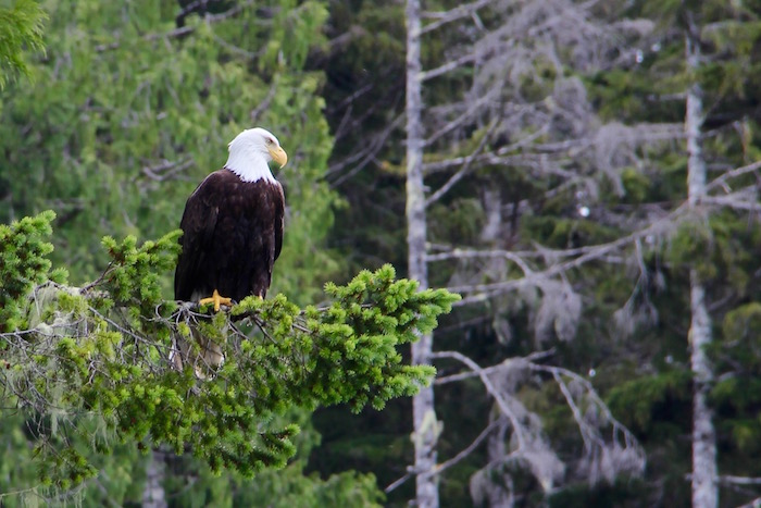 Bald Eagle Knight Inlet Lodge