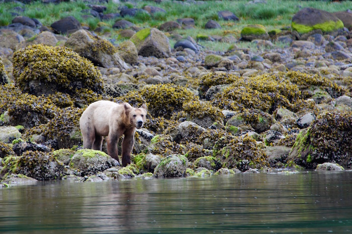 Grizzly Bear Knight Inlet Lodge