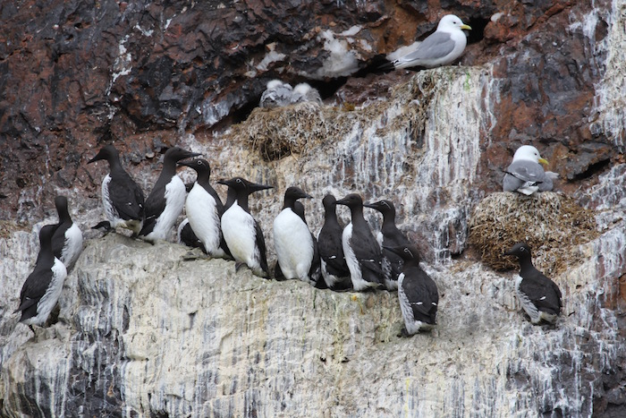 Birds packed on the cliffs of Bear Island