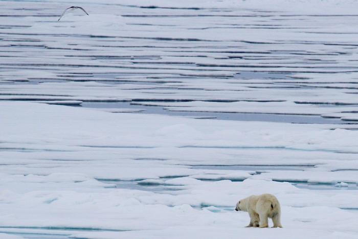 Polar Bear on Polar Sea Ice
