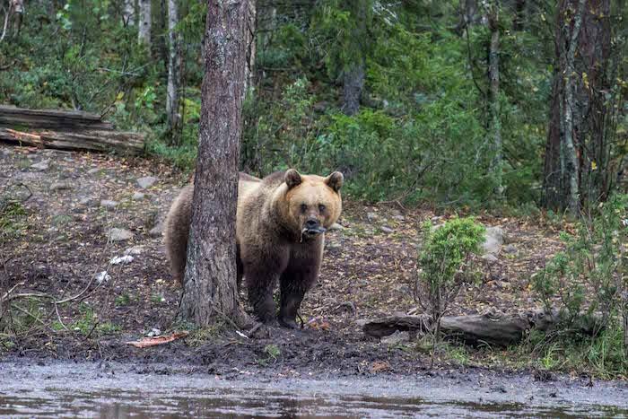 Brown Bear Watching Karhu-Kuusamo