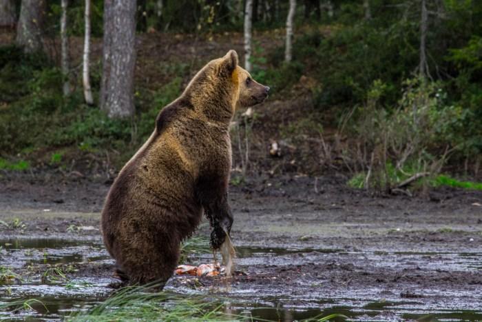 Bear Watching Karhu-Kuusamo Finland