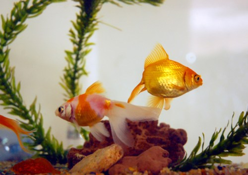 ikan di dalam akuarium
